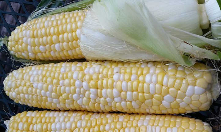 Corn with husk and silk