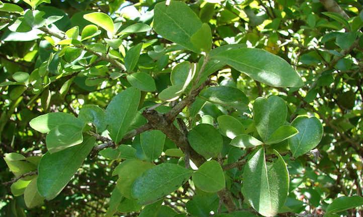 Malpighia emarginata foliage