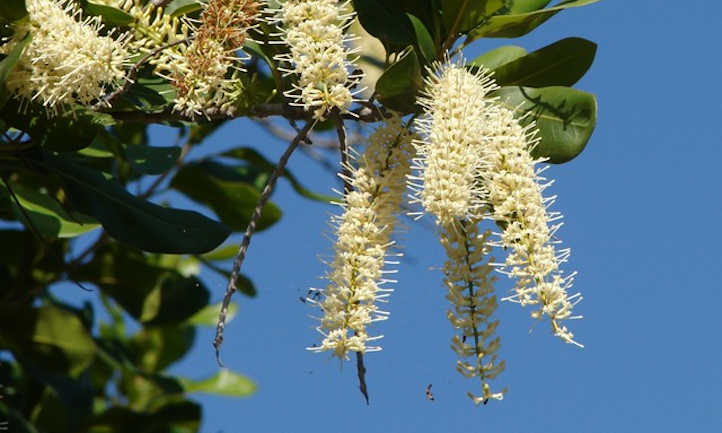 Flowering macadamia