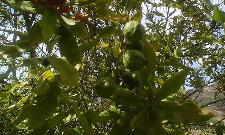 Macadamias in hull on tree
