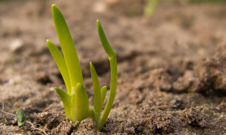 Shallots sprouting