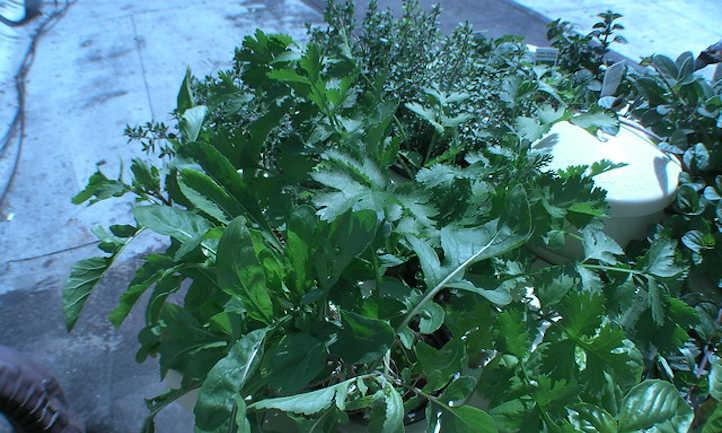 Arugula in a tower garden