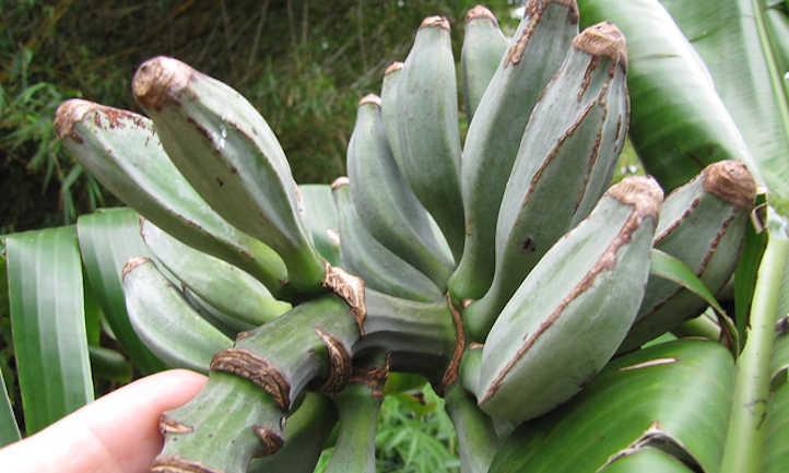 Baby blue java bananas forming