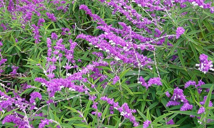Salvia leucantha