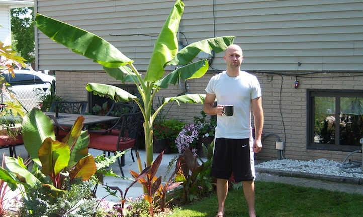 A young ice cream banana tree