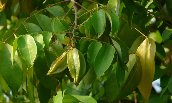 Unripe star fruit