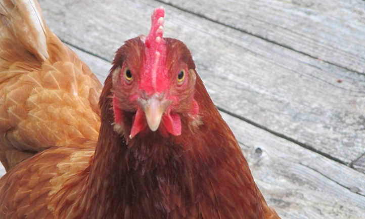 How long do chickens live and lay eggs