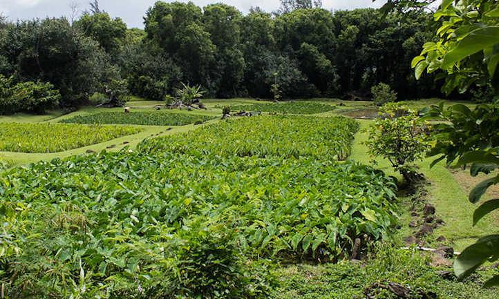 Healthy taro fields