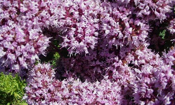 Oregano in bloom