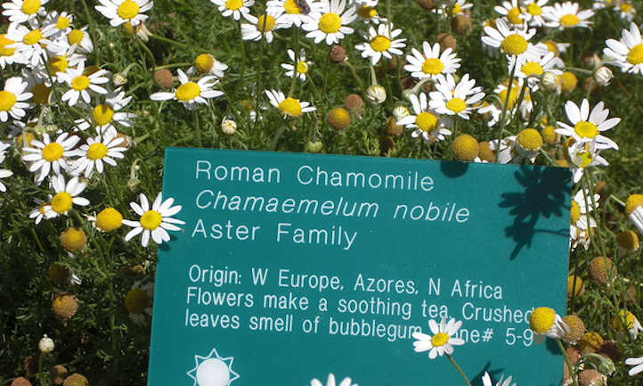 Roman chamomile in botanical garden