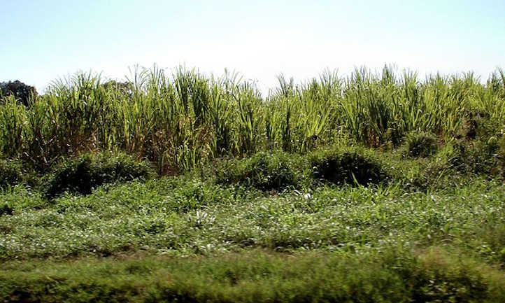 Side view of sugar cane fields