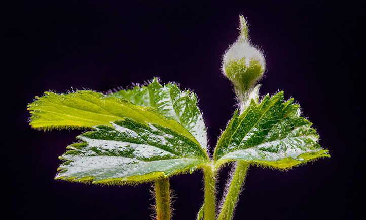 Closeup of blackberry leaf and bud