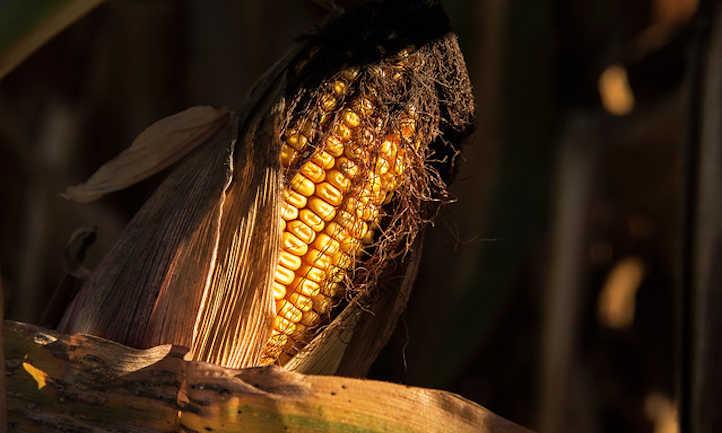 Dent corn