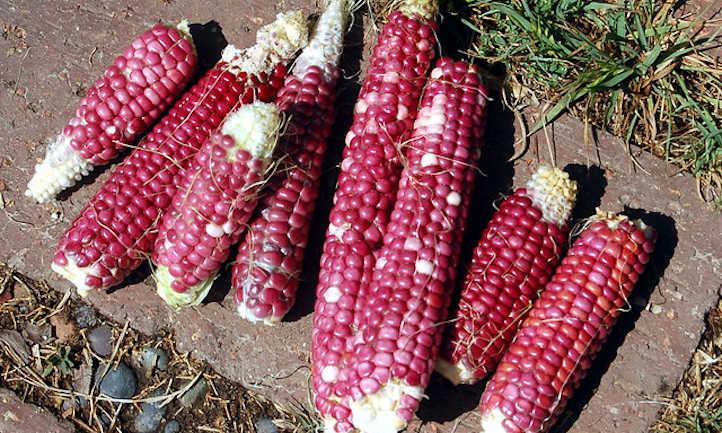 Flour corn 'Purple Hopi' variety