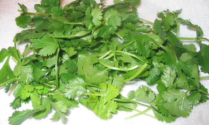 Freshly picked cilantro