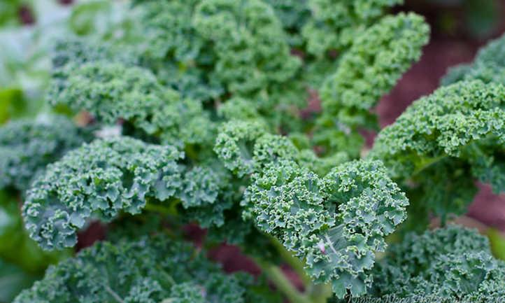 Scotch kale