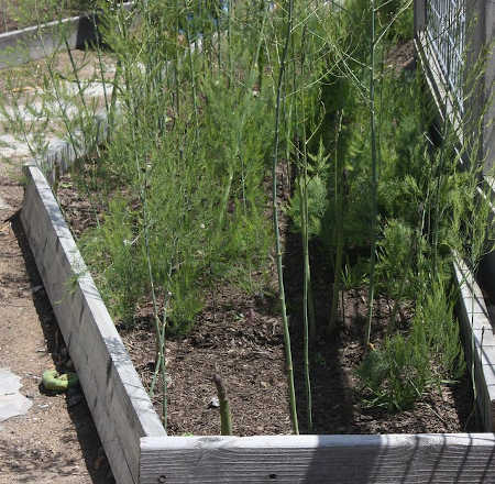Wooden raised bed with asparagus