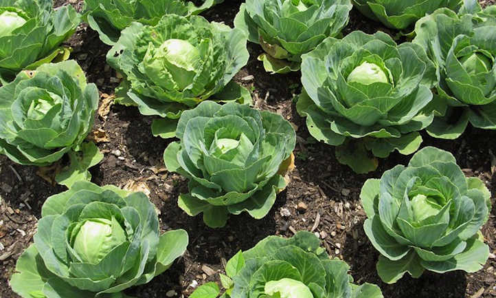 Young cabbage heads