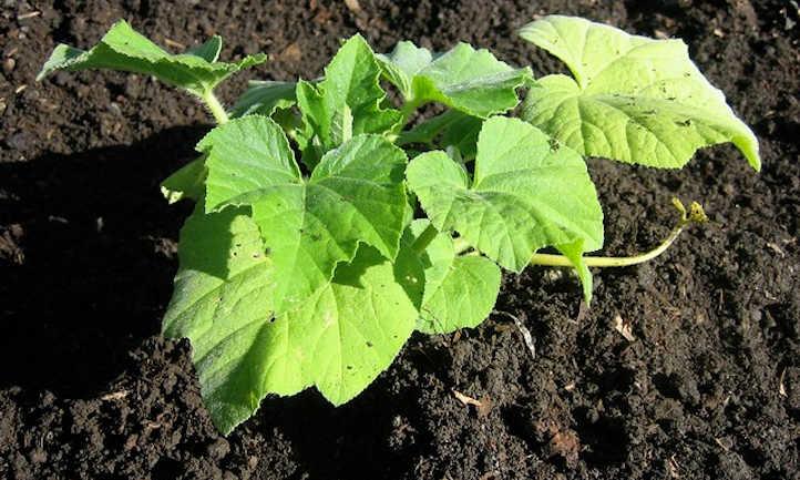 Butternut seedling