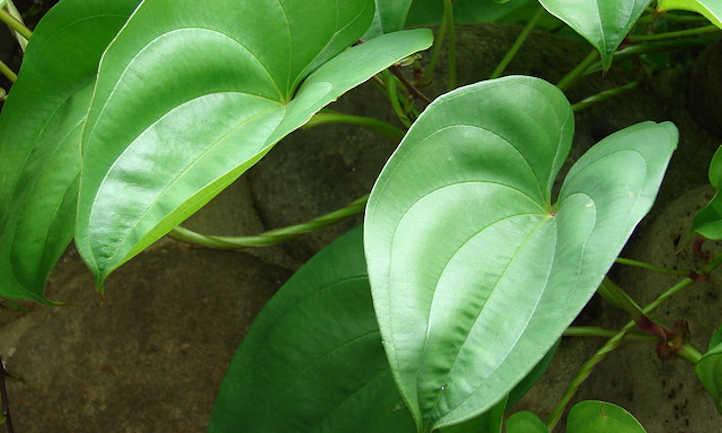 Dioscorea alata leaves
