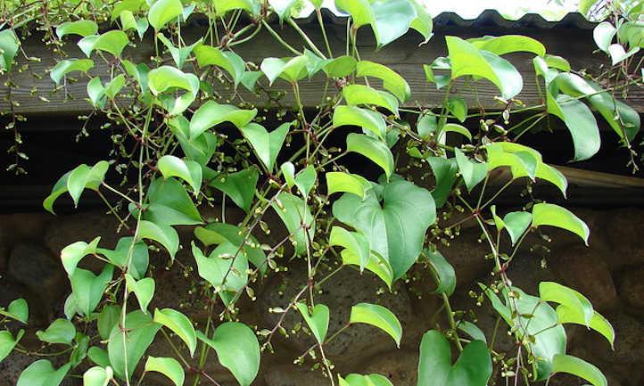 Dioscorea alata vines and flowers