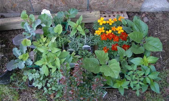 Interplanted marigolds with vegetables