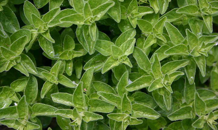 Marjoram leaves and stems