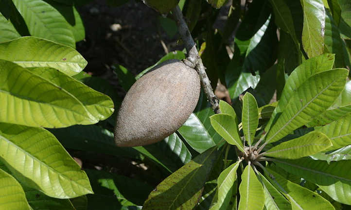 Young mamey fruit forming