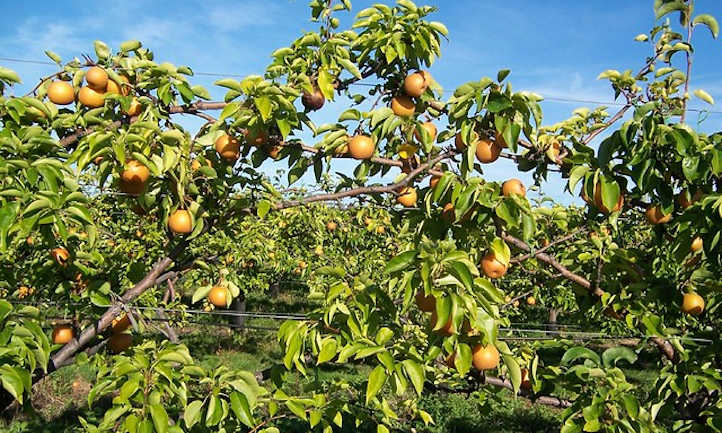 Apple pears in orchard