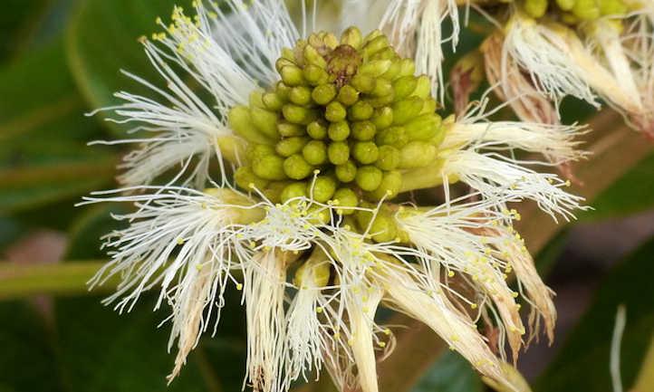 Closeup of Inga edulis flower