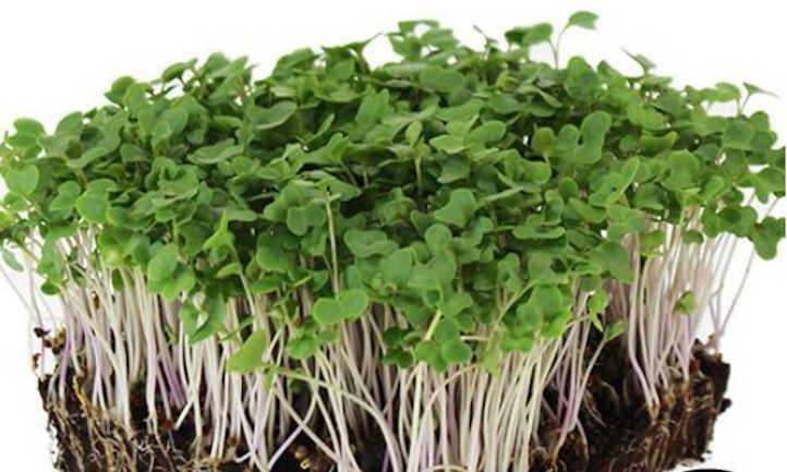 Di Cicco broccoli microgreens
