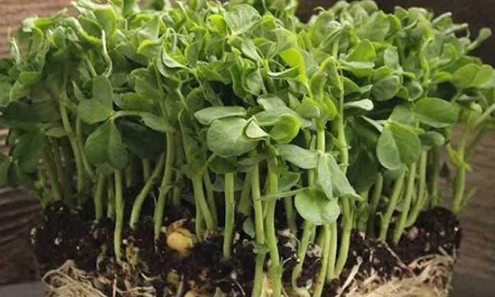 Early frosty pea microgreens