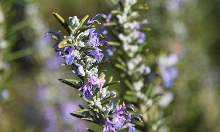 Rosemary in flower
