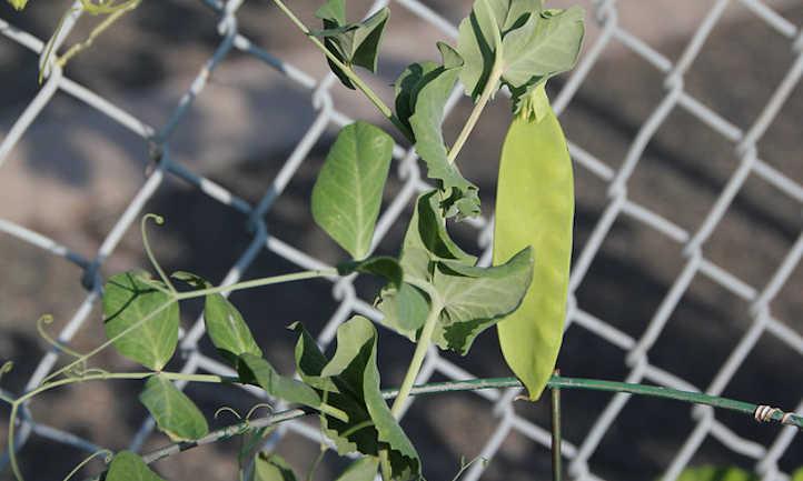 Single snow pea on fence
