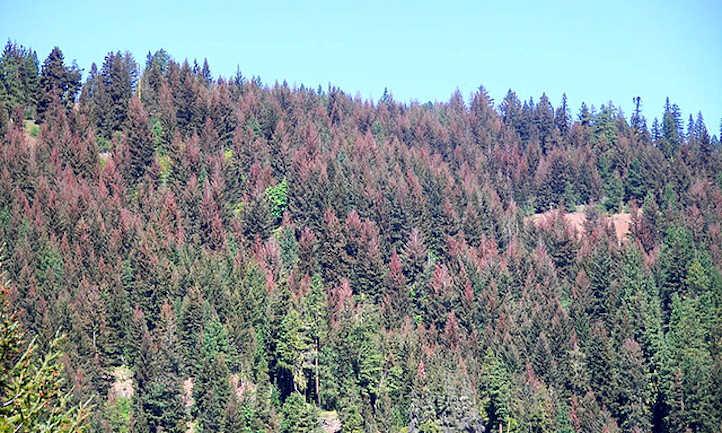 Western spruce budworm defoliation of Douglas fir