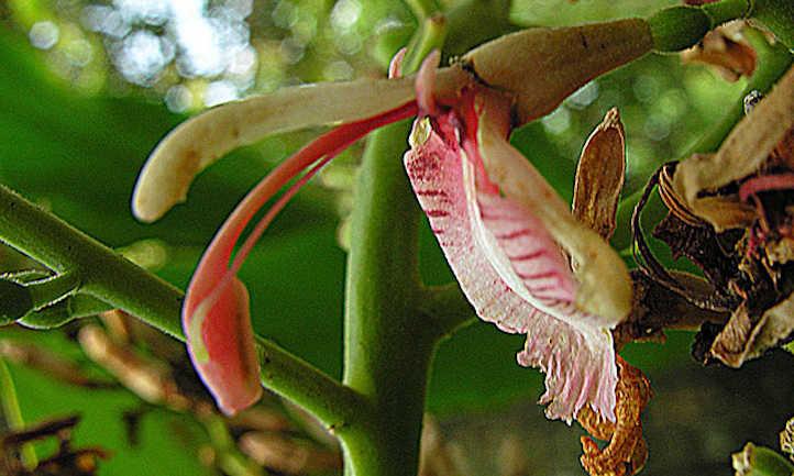 Alpinia galanga flower