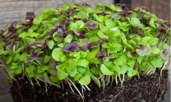 Colorful basil microgreens mix