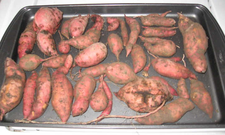 Curing sweet potatoes