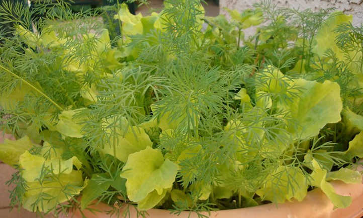 Dill and Black-Seeded Simpson lettuce