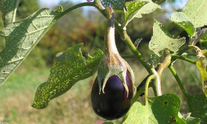 Damaged eggplant plant
