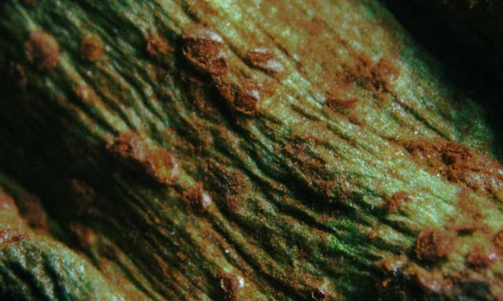Broad bean rust