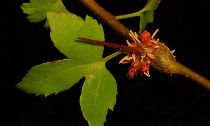 Cedar quince rust on hawthorn