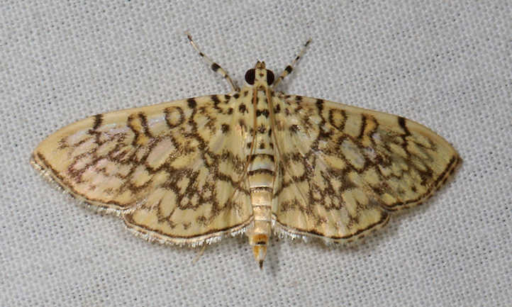 Cotton leafroller moth