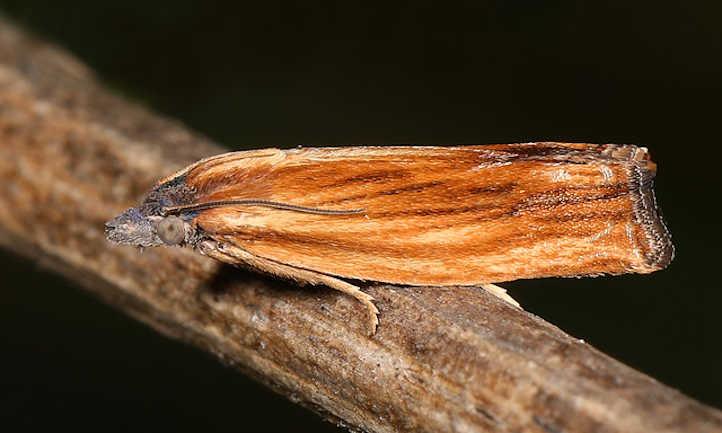 Eucosma spp leafroller moth
