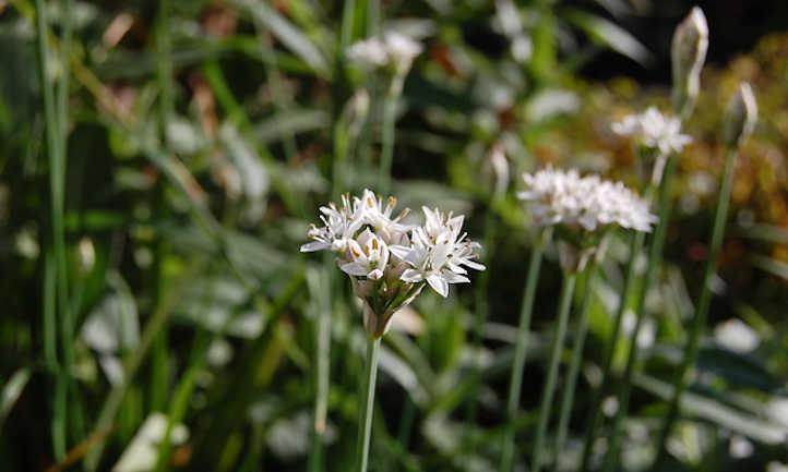 Garlic chive flowers blooming