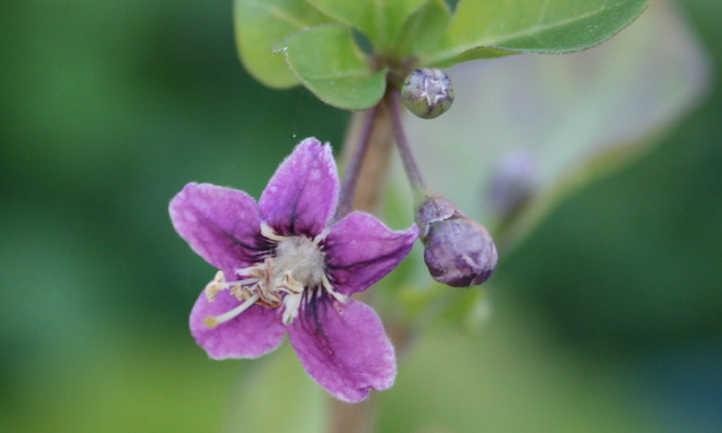 Goji flower