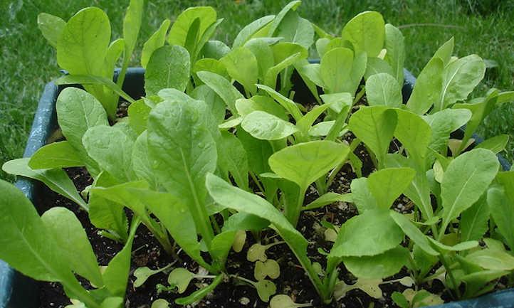 Growing mustard greens