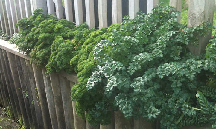Growing parsley
