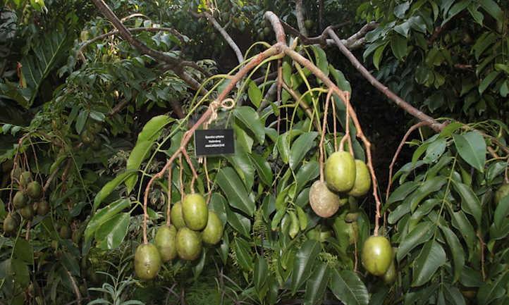 Heavy ambarella branch