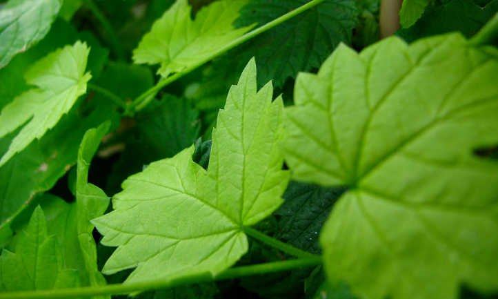 Hop leaves